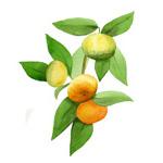 Citrus reticulata cv.