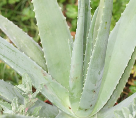 Aloe barbadensis