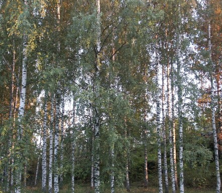 THE EUROPAEAN WHITE BIRCH