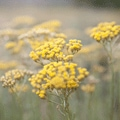 Immortelle Divine Secret to Everlasting Youth