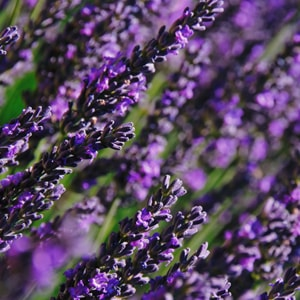 Lavender Soothing Massage