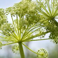 Organic Angelica
