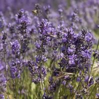Lavendel A.O.P