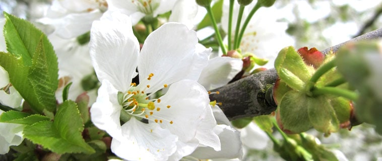 Cerisier fleur de cerisier l 39 occitane france for France fleurs