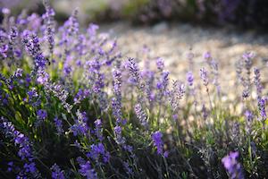 L'Occitane Lavendel Qualität