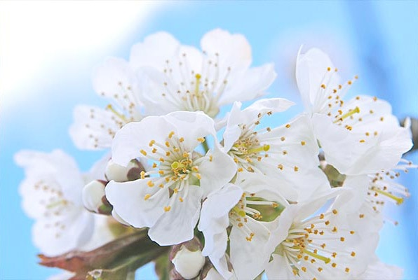 CHERRY BLOSSOM INGREDIENT - Can you bottle a feeling? - l'Occitane