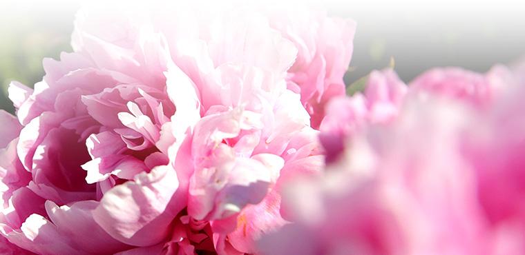 Pivoine : l'histoire de la fleur aux mille pétales