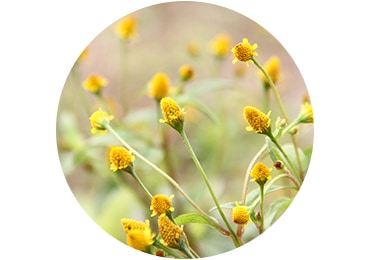 IMMORTELLE ESSENTIAL OIL - LOCCITANE