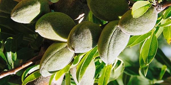 Almond Supple Skin Oil - L'Occitane