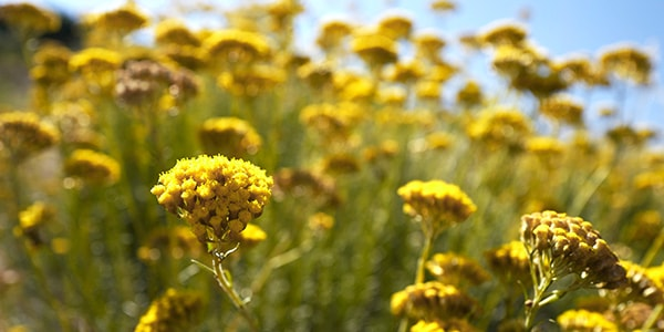 Immortelle flower, for younger-looking skin