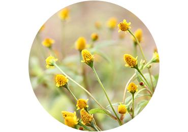 Acmella Oleracea Extract - L'Occitane
