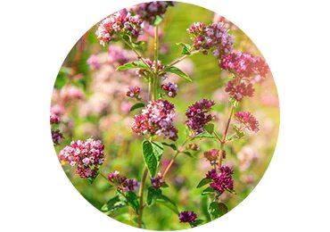 Marjoram Extract - L'Occitane India