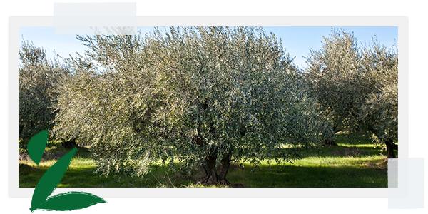 Mediterrane olijfboom