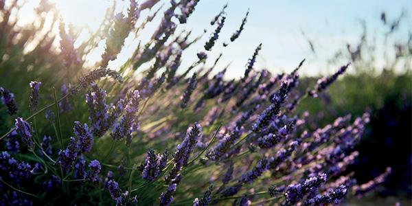 Lavender | L'OCCITANE Malaysia