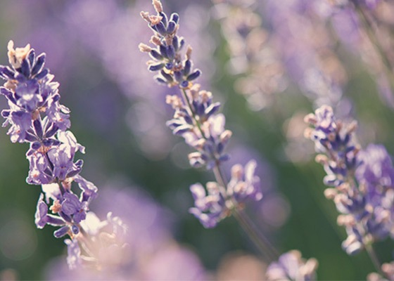 Celebrate the beauty of Nature!  -Lavender -  L'Occitane