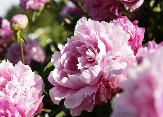 PIVOINE SUBLIME - IN THE GARDEN OF A SUBLIME FLOWER - l'Occitane