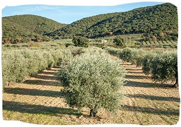 champs d'olivier