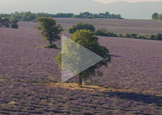 Celebrate the beauty of Nature!  - Lavender - L'Occitane