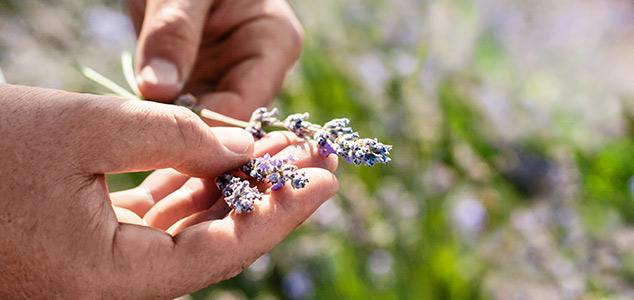tiges de fleurs de lavande