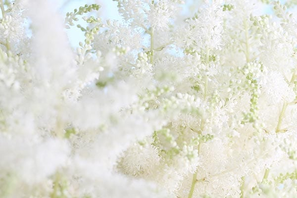 MEADOWSWEET INGREDIENT - Queen of the Meadows - l'Occitane