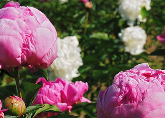 「ピオニー=芍薬」、神様に愛された花の魅力