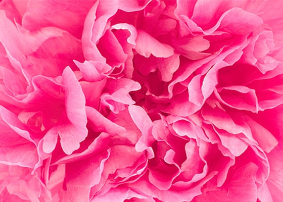 PIVOINE SUBLIME - CREATOR OF VELVET - For flawless-looking skin - l'Occitane