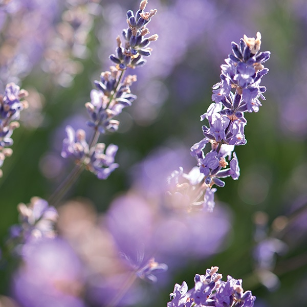Lavender Collection - Lavender ingredients - L'Occitane