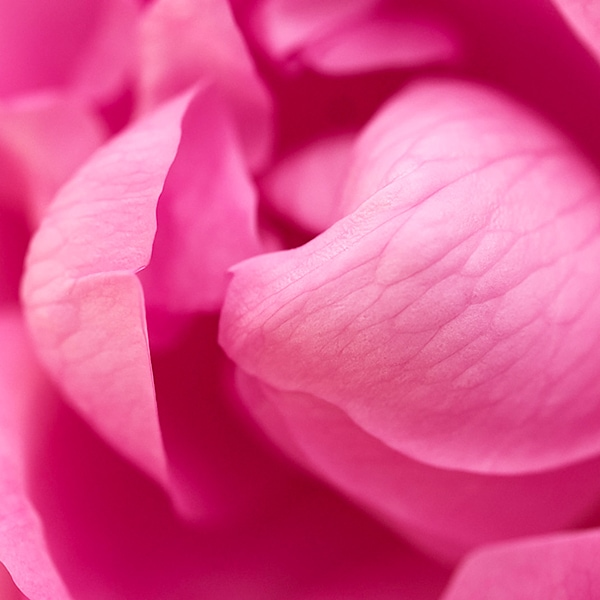 Rose - l'occitane