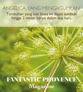 Angelica yang Mengagumkan