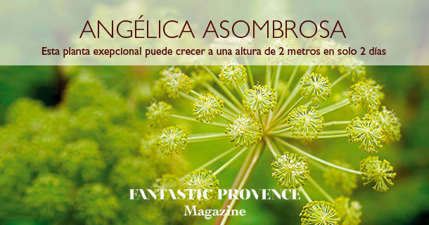 Angelica asombrosa