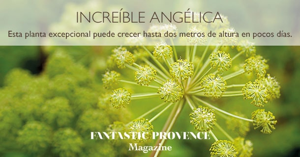 La planta Angélica puede crecer hasta 2 metros de altura en pocos días