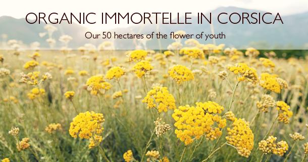 Organic Immortelle In Corsica