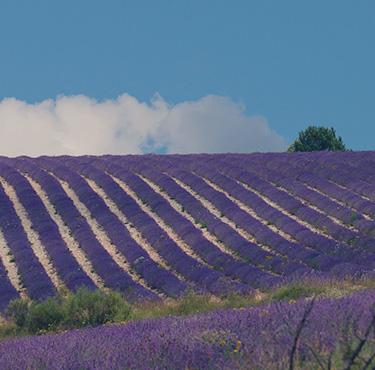 Loccitane_India_AOP Lavender