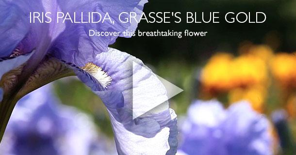 IRIS PALLIDA, GRASSE'S BLUE GOLD