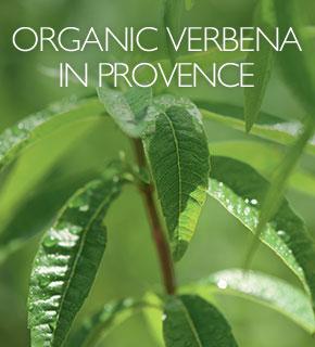 Organic Verbena farming from Provence