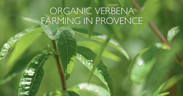 Organic Verbena Farming in Provence