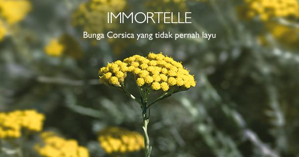 Immortelle Bunga Corsica