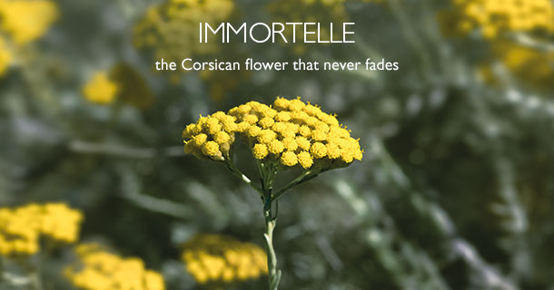 Immortelle The Corsican Flower