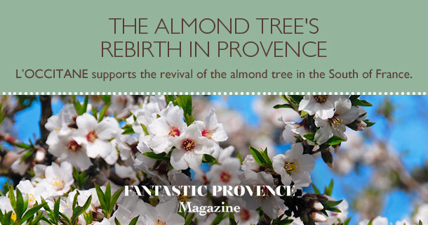 Almond tree's rebirth in provence