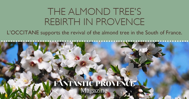 The almond tree's rebirth in Provence