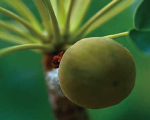 生命力に満ちた木の実から、シアバターが採取されます。