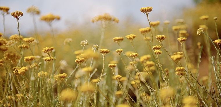 L'Immortelle, Fiore eterno