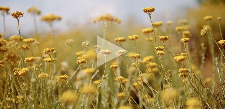 探索科西嘉島上的傳奇之花﹣蠟菊