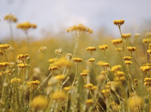 蠟菊:科西嘉島的金色太陽