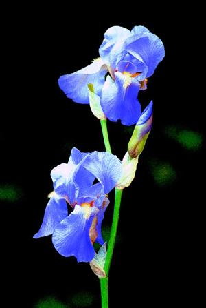 Iris de Toscane