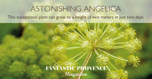 This exceptional plant can grow to a height of two meters in just two days.