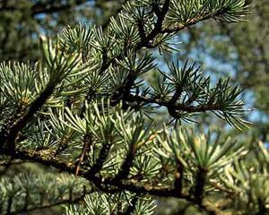 Cedar Eau de Parfum