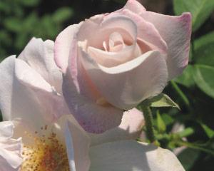 Роза 4 Королевы